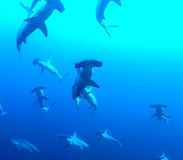 Dive the BANDA Sea Indonesia, Coral triangle, encounter hammer head sharks and many more pelagic or schooling jacks, barracudas, cobra sea snakes and many more with the ultimate Liveaboard MSY WAOW Pinisi
